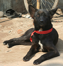 The red collar shows people this dog has been vaccinated