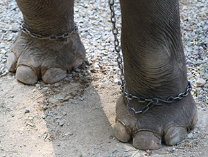 Photo: Elephant in chains
