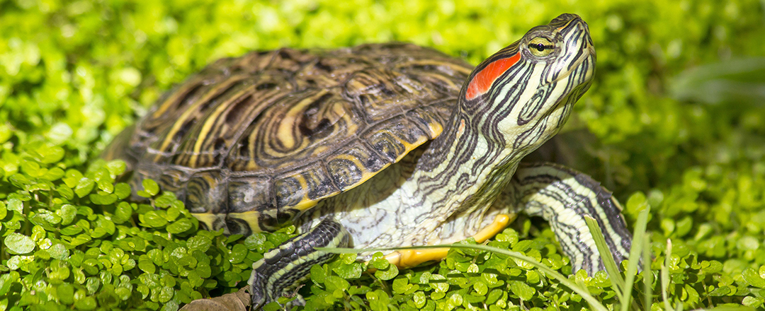 Wildlife Not Pets read eared slider