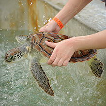 A turtle being handled by a visitor to the Cayman Turtle Far
