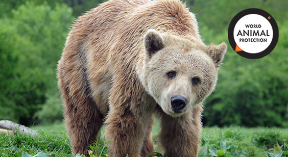 brown bear chanson