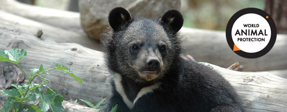 Important step closer to ending the bear bile industry